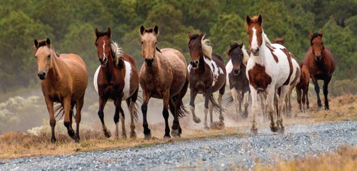 virginia wild horses